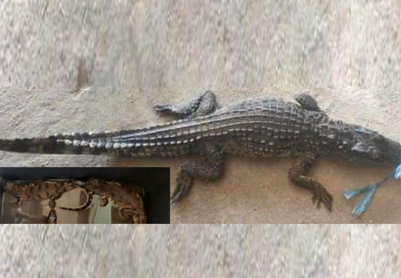 Three crocodiles from Thailand seized in Myawady